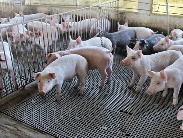 A estrutura suspensa e com chão vazado, evita o acumulo de dejetos do animal, proporcionando um ambiente mais limpo.