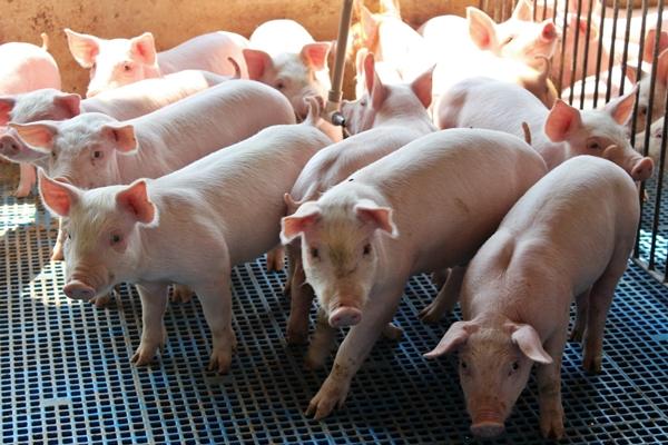 Após o desmame, os pequenos suínos permanecem na creche, até passar para o próximo estágio de desenvolvimentismo.