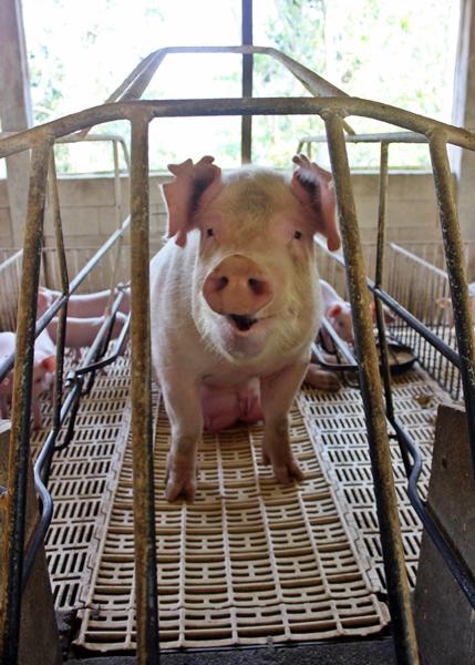 As baias especiais garantem a segurança dos pequenos leitões durante o convívio com a mãe porca.
