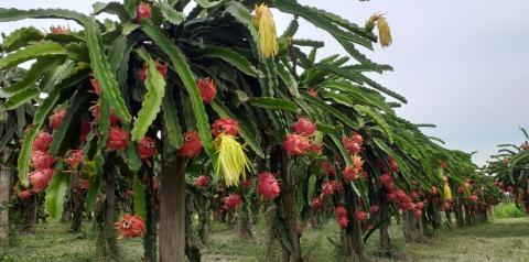 Agricultores tem na Pitaya uma fonte de renda