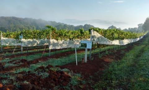 Pesquisadores catarinenses testam novas espécies para reduzir custos na produção de uvas e vinhos